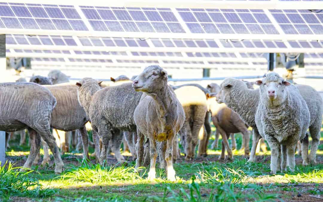 Parkes Solar Farm Sheep Trial